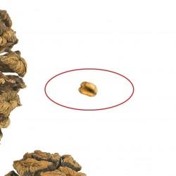 Graines de Séquoia géant Bonsai 2.35 - 4