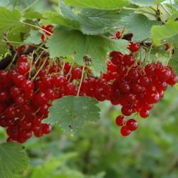Graines Groseillier Fruits Rouges (Ribes rubrum) 1.95 - 3