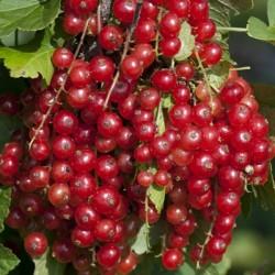 Graines Groseillier Fruits Rouges (Ribes rubrum) 1.95 - 4