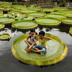 Giant Water Lily Lotus...