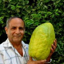 Giant Corsican Citron Seeds...