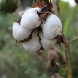 Echte Baumwolle Samen 2 - 1