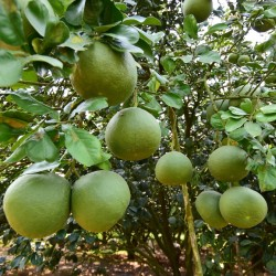 Semi di Pompelmo (decumana Citrus maxima) gelo resistente 1.95 - 1