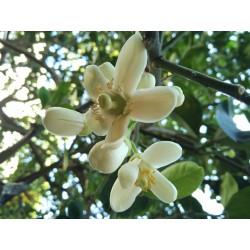 Pompelmus-Pomelo Frön (Citrus maxima) 1.95 - 2