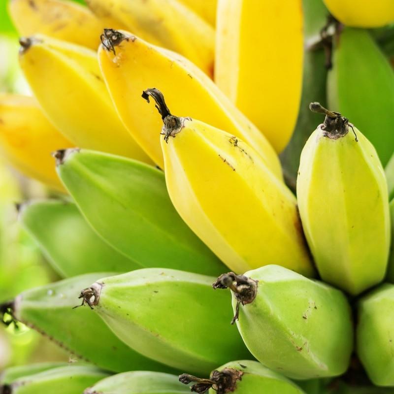 Darjeeling-Banane Samen RED TIGER 2.25 - 3