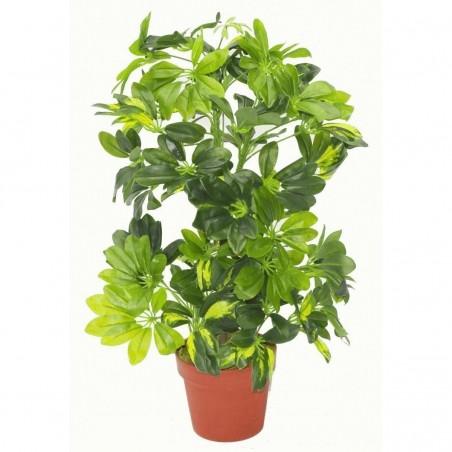 Dwarf Umbrella Tree Seed (Schefflera arboricola) 2.15 - 3