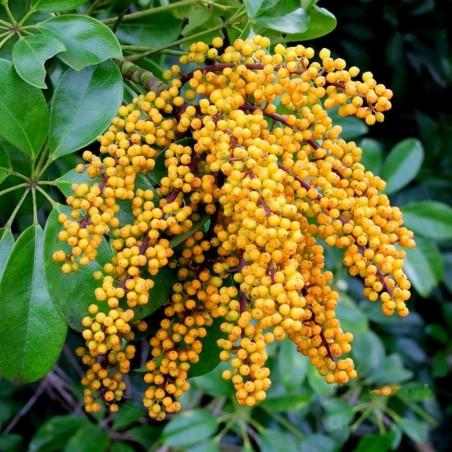 Dwarf Umbrella Tree Seed (Schefflera arboricola) 2.15 - 8