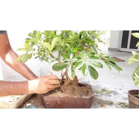 Dwarf Umbrella Tree Seed (Schefflera arboricola) 2.15 - 5