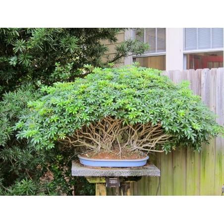 Dwarf Umbrella Tree Seed (Schefflera arboricola) 2.15 - 6