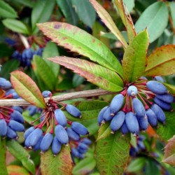 Wintergreen barberry or Chinese barberry Seeds 1.5 - 4