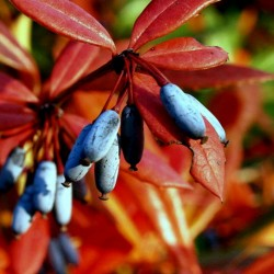 Wintergreen barberry or...