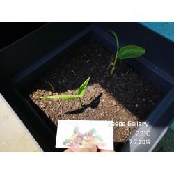 Blue Ginger Or Thai Ginger Seeds (Alpinia galanga) 1.95 - 6