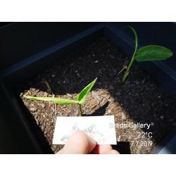 Blue Ginger Or Thai Ginger Seeds (Alpinia galanga) 1.95 - 7