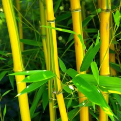 Clumping, Yellow Bamboo...