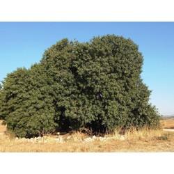 Mt. Atlas mastic tree Seeds (Pistacia atlantica) 2.5 - 3