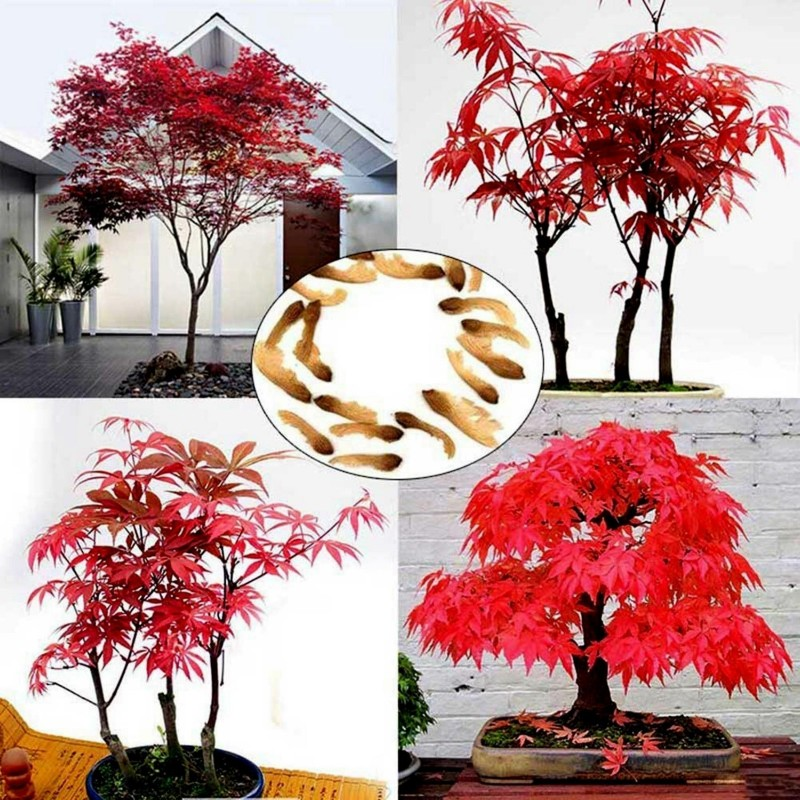 Japanese Red Maple Seeds (Acer palmatum) 1.95 - 1