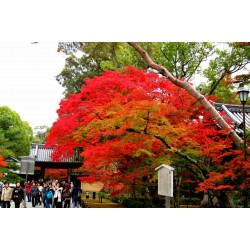 Japanese Red Maple Seeds (Acer palmatum) 1.95 - 4