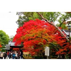 Sementes de Bordo japonês Bonsai 1.95 - 4