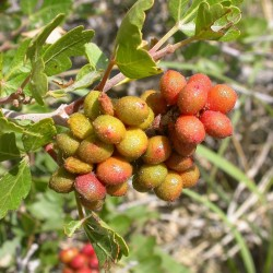 Semillas Rhus trilobata Skunkbush Sumac, Indian Lemonade 1.9 - 2