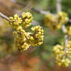 Graines fruit exotique Skunkbush Sumac (rhus trilobata) 1.9 - 5