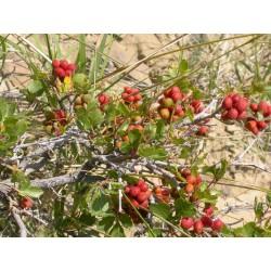 Graines fruit exotique Skunkbush Sumac (rhus trilobata) 1.9 - 6