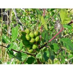 Graines fruit exotique Skunkbush Sumac (rhus trilobata) 1.9 - 8