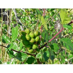 Semillas Rhus trilobata Skunkbush Sumac, Indian Lemonade 1.9 - 8