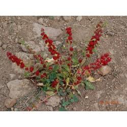 Leafy Goosefoot Seeds (Chenopodium foliosum) 1.55 - 3