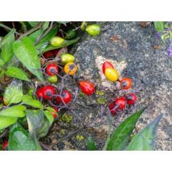 Bittersweet Seeds (Solanum dulcamara) 1.75 - 4