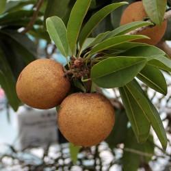 Manilkara zapota Seeds (Chico Sapote) 2.85 - 3