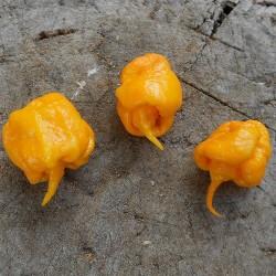 Σπόροι Τσίλι πιπέρι Carolina Reaper κόκκινο και κίτρινο 2.45 - 9