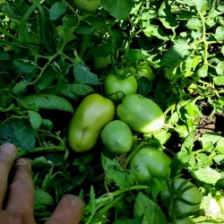 Tomatensamen Alparac - Sorte aus Serbien. 1.95 - 2