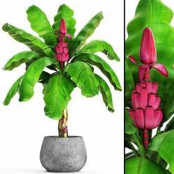 Sementes De Bananinha Rosada 1.95 - 4