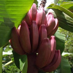 Pink Banana, Velvet Banana Seeds 1.95 - 3