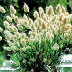 Hare's-tail Grass,...