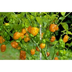 Graines de Piments Habanero Orange - Rouge