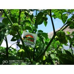 Σπόροι Τσίλι πιπέρι Carolina Reaper κόκκινο και κίτρινο 2.45 - 18