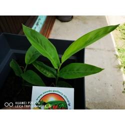 Blue Ginger Or Thai Ginger Seeds (Alpinia galanga) 1.95 - 9