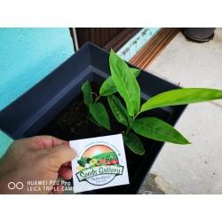 Blue Ginger Or Thai Ginger Seeds (Alpinia galanga) 1.95 - 10