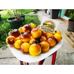 Wagner Blue Yellow Tomato Seeds 2.25 - 5