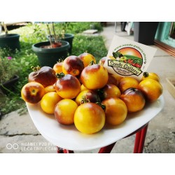 Wagner Blue Yellow Tomato Seeds 2.25 - 6