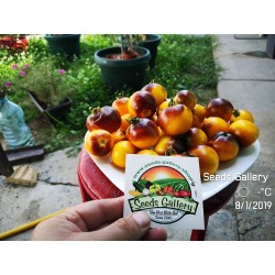 Wagner Blue Yellow Tomato Seeds 2.25 - 8