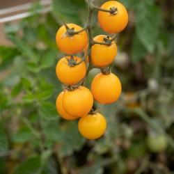 GOLD NUGGET Cherrytomaten Samen 1.85 - 2
