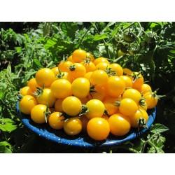 Ντομάτα σπόρος GOLD NUGGET 1.85 - 4