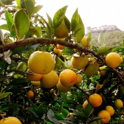 Graines de Orange CHINOTTO (Citrus myrtifolia) 6 - 4