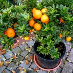CHINOTTO - Myrtle Leaved Orange Tree Seeds 6 - 5