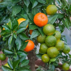 CHINOTTO - Myrtle Leaved Orange Tree Seeds 6 - 6