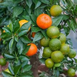 Graines de Orange CHINOTTO (Citrus myrtifolia) 6 - 6