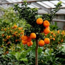 Graines de Orange CHINOTTO (Citrus myrtifolia) 6 - 9