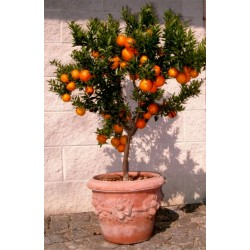 Graines de Orange CHINOTTO (Citrus myrtifolia) 6 - 7